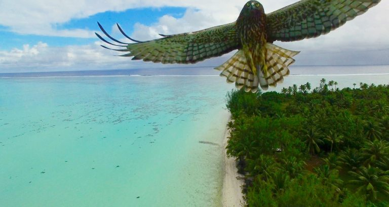 Bird attack in French Polynesia by Actua Drone